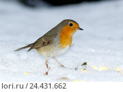 Купить «Зарянка. Robin (Erithacus rubecula).», фото № 24431662, снято 27 ноября 2016 г. (c) Василий Вишневский / Фотобанк Лори