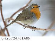 Зарянка. Robin (Erithacus rubecula). Стоковое фото, фотограф Василий Вишневский / Фотобанк Лори