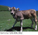 Купить «Mountain pasture, calf, South Tyrol, Langtaufertal, agriculture, economy, cattle economy, animal, animals, mammal, mammals, benefit animal, benefit animals...», фото № 24436362, снято 21 сентября 2005 г. (c) mauritius images / Фотобанк Лори