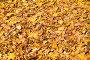 Фон из опавших кленовых листьев, фото № 24436490, снято 13 октября 2013 г. (c) Алёшина Оксана / Фотобанк Лори