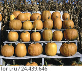 Купить «Roadside, sales, pumpkins, Cucurbita pepo harvest, offer, berry plant, vegetables, agriculture, healthy, rich in vitamins, vitamins, Beta-Carotin, pumpkin sort, squashes», фото № 24439646, снято 5 июня 2002 г. (c) mauritius images / Фотобанк Лори