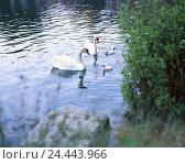 Купить «Switzerland, Basel scenery, Munich stone, lake, swans, Cygnus olor, young animals, swim, Europe, town, park, gravel way, animals, birds, birds passage...», фото № 24443966, снято 24 октября 2005 г. (c) mauritius images / Фотобанк Лори