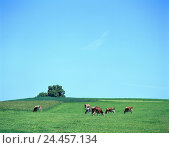 Купить «Meadow, cows, graze, agriculture, cattle economy, keeping pets, cattle ranching, appropriate to the species, animals, mammals, benefit animals, pets, horn...», фото № 24457134, снято 24 января 2002 г. (c) mauritius images / Фотобанк Лори