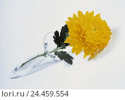 Купить «Chrysanthemum, blossom, yellow ornamental plant, flower, winter aster, Dendranthema, chrysanthemum, hybrid, plant, cut flower, glass case, vase, Still life, studio, product photography», фото № 24459554, снято 5 августа 2002 г. (c) mauritius images / Фотобанк Лори