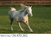 Купить «Meadow, horse, Arab, gallop, animals, animal, mammals, mammal, uncloven-hoofed animal, horses, riding horses, riding horse, horse's race, thoroughbred...», фото № 24470362, снято 15 декабря 2004 г. (c) mauritius images / Фотобанк Лори