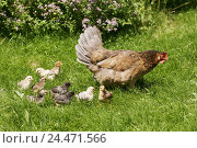 Купить «Meadow, house chicken, chick, lining search, animals, birds, fowl, benefit animals, gallinaceous birds, chicken, poultry, Gallus gallus, young animals...», фото № 24471566, снято 21 сентября 2018 г. (c) mauritius images / Фотобанк Лори