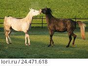 Купить «Meadow, horses, Arabs, play, animals, mammals, uncloven-hoofed animal, horses, riding horses, horse's race, thoroughbred horses, stallions, Arab's stallions...», фото № 24471618, снято 15 декабря 2004 г. (c) mauritius images / Фотобанк Лори