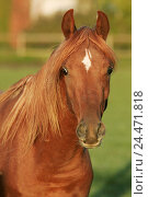 Купить «Meadow, horse, Arab, portrait, animals, animal, mammals, mammal, uncloven-hoofed animal, horses, riding horses, riding horse, horse's race, thoroughbred...», фото № 24471818, снято 16 декабря 2004 г. (c) mauritius images / Фотобанк Лори