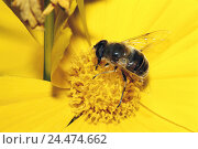 Купить «Blossom, petals, yellow, detail, dust vessels, dung bee, Eristalis tenax, nature, flower, dust, zoology, animal world, animal, animals, insect, insects...», фото № 24474662, снято 30 ноября 2004 г. (c) mauritius images / Фотобанк Лори