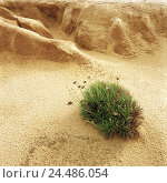 Купить «Dunes, detail, grass clove, Europe, Südwesteuropa, Iberian peninsula, Portugal, Atlantic coast, Sand dunes, dune, Sand, vegetation, plant, flower, coast...», фото № 24486054, снято 3 ноября 2005 г. (c) mauritius images / Фотобанк Лори
