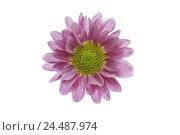 Купить «Chrysanthemum, bloom, pink,    Series, flower, Chrysanthemum indicum, chrysanthemum, composites, ornament flower, autumn flower, petals, magenta, delicately...», фото № 24487974, снято 19 августа 2018 г. (c) mauritius images / Фотобанк Лори