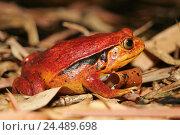 Купить «Zoo, tomato frog, Dyscophus guineti, terrarium, animals, animal, amphibians, frog Amphibians, frog Amphibian, Anura, Amphibians, amphibian, narrow mouth...», фото № 24489698, снято 21 декабря 2004 г. (c) mauritius images / Фотобанк Лори