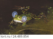 Купить «Waters, water frog, Rana esculenta, sound bubbles, lake, pond, animal world, animal, animals, frogs, frog, frog Amphibians, frog Amphibian, Amphibians...», фото № 24489854, снято 24 июня 2004 г. (c) mauritius images / Фотобанк Лори