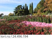 Купить «Никитский ботанический сад в Крыму. Бал хризантем», эксклюзивное фото № 24496194, снято 24 октября 2016 г. (c) Яна Королёва / Фотобанк Лори
