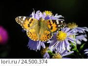 Купить «Thistle butterfly, Vanessa cardui, blossom,», фото № 24500374, снято 9 декабря 2009 г. (c) mauritius images / Фотобанк Лори
