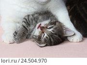 Купить «Cat's nut, lie, detail, front paws, kittens, doze, wink, portrait, bed, animals, mammals, pets, small cats, Felidae, white, striped, domesticates, cats...», фото № 24504970, снято 8 июля 2009 г. (c) mauritius images / Фотобанк Лори