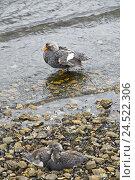 Купить «Great Britain, the Falkland Islands, Falkland steamboat duck, Tachyeres brachypterus, mother animal, young animals,», фото № 24522306, снято 27 мая 2010 г. (c) mauritius images / Фотобанк Лори