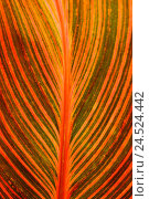 Купить «Leaves, close up, Indian flower ear, Canna indica,», фото № 24524442, снято 23 января 2009 г. (c) mauritius images / Фотобанк Лори