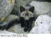 Купить «Arctic fox, Alopex lagopus, rocks, sitting, portrait, Norway, Lofoten,», фото № 24532462, снято 18 марта 2019 г. (c) mauritius images / Фотобанк Лори