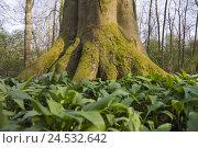 Купить «Wood, trunk, detail, wild garlic, trunk, trunks, bark, wood, nature, light mood, scenery, Allium, tree, trees, leaves,», фото № 24532642, снято 26 сентября 2018 г. (c) mauritius images / Фотобанк Лори