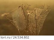Купить «Spinning networks, dewdrops, morning light, golden,», фото № 24534802, снято 26 марта 2008 г. (c) mauritius images / Фотобанк Лори