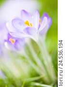 Купить «Mauve crocuses, meadow, blossom, medium close-up, blur,», фото № 24536194, снято 23 июля 2019 г. (c) mauritius images / Фотобанк Лори