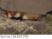 Купить «Field hamster, Cricetus cricetus, construction,», фото № 24537770, снято 8 сентября 2009 г. (c) mauritius images / Фотобанк Лори