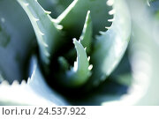Купить «Aloe Vera leaves, close up,», фото № 24537922, снято 16 июля 2018 г. (c) mauritius images / Фотобанк Лори