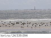 Купить «Germany, Schleswig - Holstein, north frieze country, Westerhever, lighthouse, Sand bank, ringlet geese, Branta bernicla,», фото № 24539094, снято 20 сентября 2018 г. (c) mauritius images / Фотобанк Лори