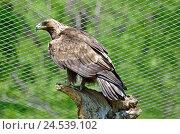 Купить «Степной орел», фото № 24539102, снято 16 февраля 2019 г. (c) Овчинникова Ирина / Фотобанк Лори