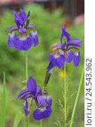 Купить «Siberian iris, iris sibirica,», фото № 24543962, снято 30 сентября 2010 г. (c) mauritius images / Фотобанк Лори