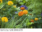 Купить «French marigold,», фото № 24544670, снято 15 июня 2011 г. (c) mauritius images / Фотобанк Лори