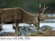 Купить «Highlands, Glen Cannich, red deer, Cervus elaphus,», фото № 24546154, снято 15 февраля 2010 г. (c) mauritius images / Фотобанк Лори