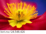 Купить «Iceland poppy, Papaver nudicaule, bloom,  Stamens, close-up,   Nature, flora, plant, flower, poppy, poppy, capsule, seed capsule, petals, two-colored, yellow-red, detail,», фото № 24548426, снято 22 сентября 2018 г. (c) mauritius images / Фотобанк Лори