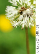 Купить «Dandelion, Taraxacum officinale, wither, breath flower, wet, close-up,   Series, nature, botany, flora, plant, flower, seeds, without delay amen, tender...», фото № 24548438, снято 9 декабря 2018 г. (c) mauritius images / Фотобанк Лори