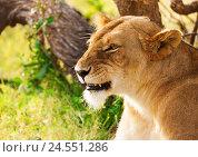 Купить «Beautiful African lioness on the nature background», фото № 24551286, снято 18 августа 2015 г. (c) Сергей Новиков / Фотобанк Лори