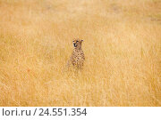 Купить «African cheetah sitting in the long dried grass», фото № 24551354, снято 19 августа 2015 г. (c) Сергей Новиков / Фотобанк Лори
