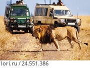 Купить «Big lion crossing the road at African savannah», фото № 24551386, снято 19 августа 2015 г. (c) Сергей Новиков / Фотобанк Лори