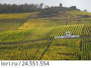 Купить «Germany, Rhineland-Palatinate, Zell, the Moselle, vineyard, hillside situation, autumn,», фото № 24551554, снято 17 сентября 2009 г. (c) mauritius images / Фотобанк Лори