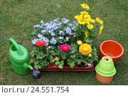 Купить «Meadow, flowers, differently, watering can, flowerpots, Eintopfen, garden, garden flowers, ornamental flowers, Ranunculus, Ranunkel, forget-me-not, Gemswurz, blossoms, passed away,», фото № 24551754, снято 18 июня 2008 г. (c) mauritius images / Фотобанк Лори