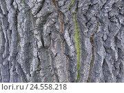 Купить «Common oak, Quercus robur, bark, lichens, close up, trunk, crust, oak, oaken strain, broad-leaved tree, sample, nature, plant, tree, summer oak, strain, structure, icon,», фото № 24558218, снято 21 июля 2008 г. (c) mauritius images / Фотобанк Лори