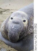 Купить «Northern elephant seal, bull, Mirounga angustirostris, beach of Piedras Blancas, San Simeon, California, USA,», фото № 24559002, снято 16 ноября 2018 г. (c) mauritius images / Фотобанк Лори
