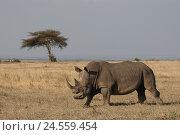 Купить «Wide mouth rhinoceros runs in the savanna,», фото № 24559454, снято 15 сентября 2010 г. (c) mauritius images / Фотобанк Лори