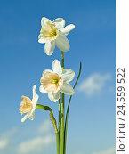 Купить «Narcissi, Narcissus, unmarked, close up, blue sky,», фото № 24559522, снято 2 марта 2011 г. (c) mauritius images / Фотобанк Лори