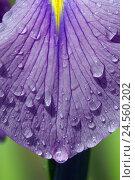 Купить «Japanese marsh iris with drop water,», фото № 24560202, снято 14 февраля 2011 г. (c) mauritius images / Фотобанк Лори