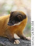 Купить «Yellow-throated marten, Martes flavigula, half portrait,», фото № 24561554, снято 22 августа 2018 г. (c) mauritius images / Фотобанк Лори
