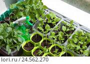 Купить «Разнообразная овощная рассада выращенная в контейнерах на подоконнике», фото № 24562270, снято 19 сентября 2018 г. (c) Галина Лукьяненко / Фотобанк Лори