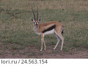 Купить «Thomsongazelle stands in the savanna,», фото № 24563154, снято 15 сентября 2010 г. (c) mauritius images / Фотобанк Лори