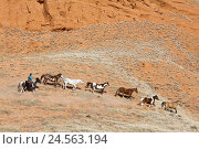 Купить «Horse's focuses in the gallop, horse's instinct, the USA, Wyoming, shell,», фото № 24563194, снято 15 сентября 2009 г. (c) mauritius images / Фотобанк Лори