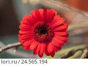 Купить «Flower, gerbera, blossom,», фото № 24565194, снято 12 декабря 2017 г. (c) mauritius images / Фотобанк Лори